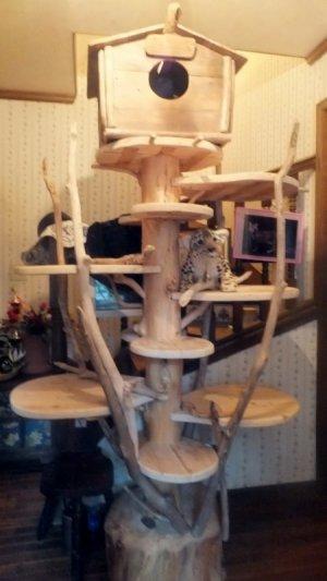 画像1: Bengal Cattery 雲母館       坂下 様の使用例